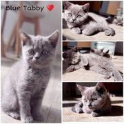 Blaues Tabby Mädchen