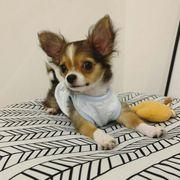 Schöne Chihuahua Welpen erhältlich