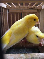 Kanarienvögel Pärchen