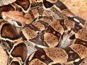 Boa Constrictor Female