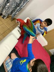 dunkelrote Ara papagei 2 Monate