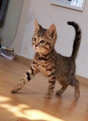 Schöne BENGAL-MIX Kitten suchen liebevolles