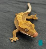 Kronengecko 0 0 2 Correlophus