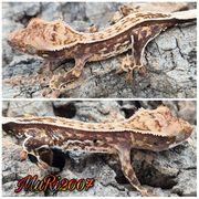 Hübsche Kronengeckos C ciliatus