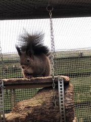 Kräftiger Eichhörnchen-Bock abzugeben