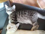 Reinrassige verschmuste Bengal kitte