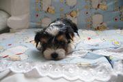 Biewer Yorkshire Terrier Rüde aus