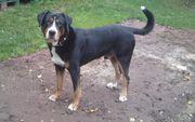 Deckrüde Großer Schweizer Sennen Hund