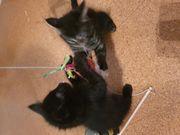 Babykatzen abzugeben 9 Wochen alt