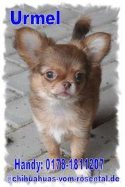 Wunderschöne Chihuahua Welpen in tollen