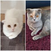 Kater und Katze BKH Scottish