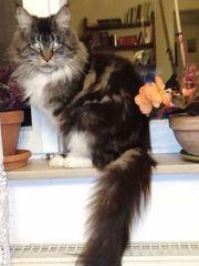 Maine Coon Katze mit Stammbaum