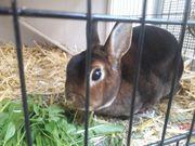 Kaninchen Weibchen 1 5 J