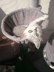 BKH Kitten Mädchen Abgabe bereit
