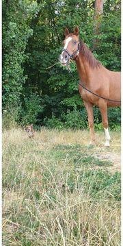 Pflegebeteiligung Pferd sucht Mensch