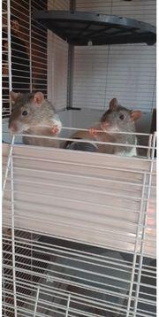Zwei männliche Ratten abzugeben