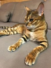 Seltene Toyger Kitten
