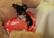 Mini Chihuahua Mädchen schoko und