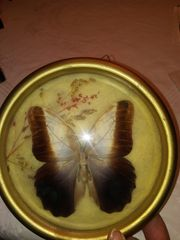 Schmetterling Caligo Falter