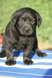 Lackschwarze Labrador Retriever Welpen