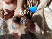 Canadish sphynx baby s