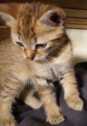Wunderschöne Mix Katzenbabys Kitten