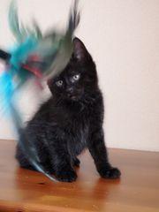 Babykatzen Kurilian Kurilien Bobtail Kitten