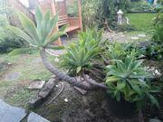 große Schwanenhalsagave exotische Pflanze