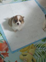Chihuahua Mittelspitz Welpen