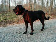 Deckrüde Cane Corso x Rottweiler