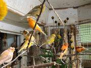 Noch ca 20 Kanarienvögel bunt