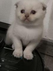 Reinrassiges weibliches BKH Point Kitten