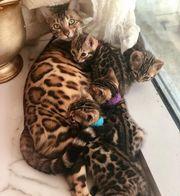 Bengalische Kätzchen verfügbar