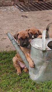 Boxer Labrador DeutscheDogge mix