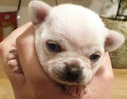 Reinrassiger Kurzhaar Chihuahua Rüde zur