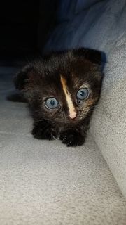Kitten Babykatzen scottish Fold Mix