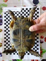 Maurische Landschildkröte Testudo graeca ibera