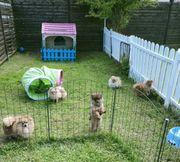 Pomeranian Welpen Hündinnen 6 mon