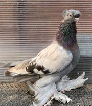 Tauben Usbekische Tauben Hochfliger