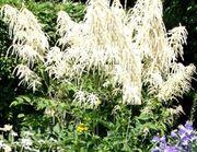 Wald-Gaisbart als toller Insektenmagnet Rose