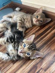 3 hübsche Bengalkitten zu verkaufen
