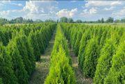 Thujen Hecken Bäume und zetera