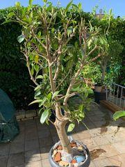 Chinesische Feige Ficus macrocarpa