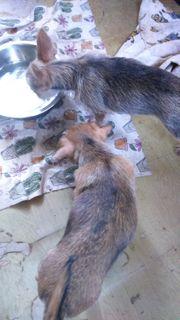 Chihuahuayorki welpen