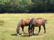 zwei Pferde abzugeben