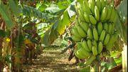 50 Ha grosse Bananen- und