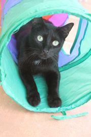 Kenia liebe schwarze Katze