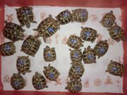 Griechische Landschildkröten THB NZ 2016