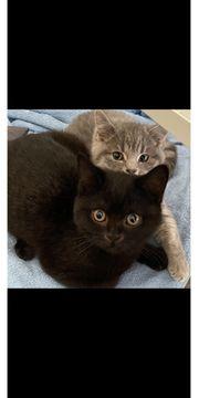 Bkh Kitten Sofort Abgabebereit