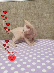 Kanadischer Sphinx Katzenbaby